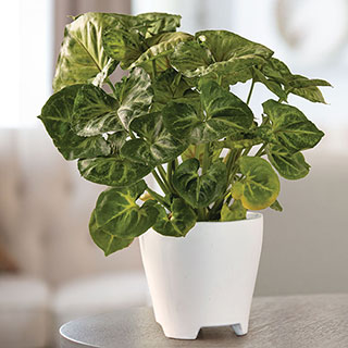 Arrowhead Houseplant