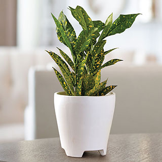 Gold Dust Croton Houseplant Image