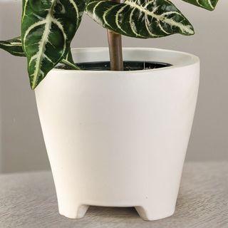 Zebra Plant Image