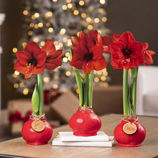 Red Waxed Red Lion Amaryllis Image