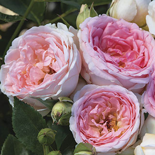 Sweet Rose of Mine Floribunda Rose Image