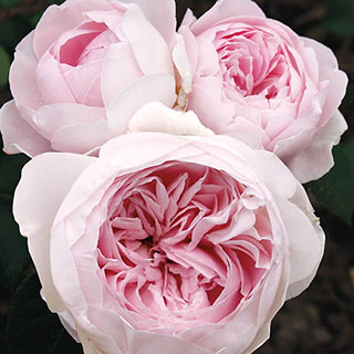 Earth Angel Parfuma® Floribunda Rose Image