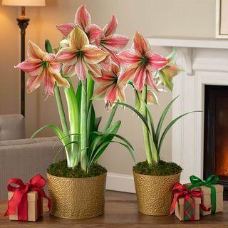 Shimmering Holiday Amaryllis Image