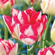 Cartouche® Tulip - Pack of 10