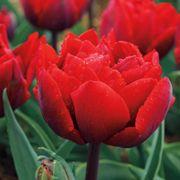 Red Princess Tulip - Pack of 10