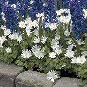 Anemone White Splendor - Pack of 20 Alternate Image 1