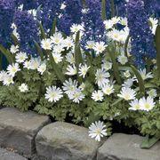 Anemone White Splendor - Pack of 20