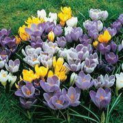 Crocus Large-Flowered Economy Mix Alternate Image 1