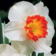 Ring of Fire Daffodil - Pack of 10