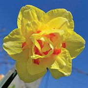Tahiti Daffodil - Pack of 10