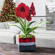 Winters Warmth Red Lion Amaryllis - Single