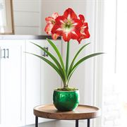 Joy of Christmas Amaryllis - Green Single