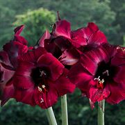 Coronation Amaryllis - Triple