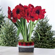 Winters Warmth Red Lion Amaryllis - Triple