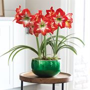 Joy of Christmas Amaryllis - Green Triple
