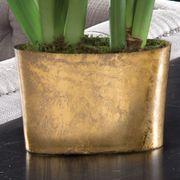 Golden Glow Papillio Amaryllis Duo