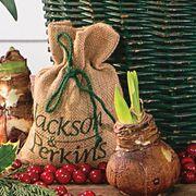 Classically Christmas Amaryllis