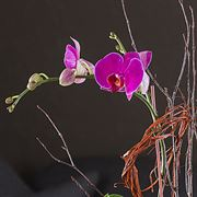 Bronze Beauty Orchid Garden