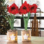 Starry Nights Set of 2 Mini Amaryllis