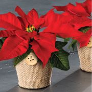 Cute As A Button Poinsettia Set