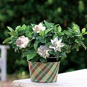 Good Tidings Gardenia