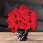 Poinsettia in Plaid Container