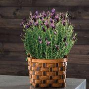 Fragrant Lavender in Honey & Chocolate Basket