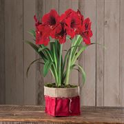 Special Delivery Amaryllis - Triple