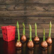 Gloss Copper Waxed Amaryllis - Set of 6
