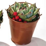 Holiday Metallic Succulent Gift - Set of 2