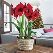 Warm Wishes Amaryllis - Triple