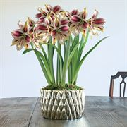 Christmas Love Amaryllis - Triple