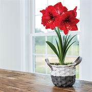 Charming Amaryllis - Single Red