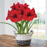 Charming Christmas Amaryllis - Triple Symphony Merry Christmas