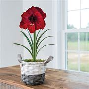 Charming Amaryllis - Single Burgundy