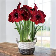 Charming Christmas Amaryllis - Triple Royal Velvet