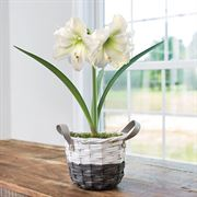 Charming Amaryllis - Single White