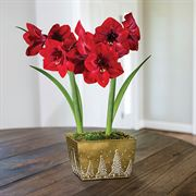 Christmas Cheer Amaryllis - Duo
