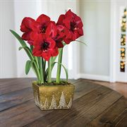 Christmas Cheer Amaryllis - Triple