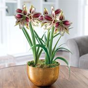 Golden Glow Amaryllis - Duo Pappillio