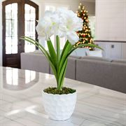 First Snow Amaryllis - Single