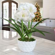 First Snow Amaryllis - Duo