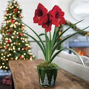 Snow Covered Hills Amaryllis - Single