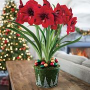 Snow Covered Hills Amaryllis - Triple
