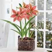 Gifts of Gladness Amaryllis - Triple