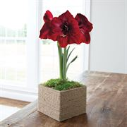 Farmhouse Amaryllis - Single