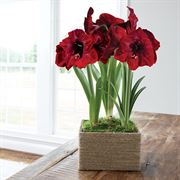 Farmhouse Amaryllis - Triple