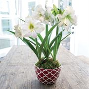 Merry & Bright Amaryllis - Triple