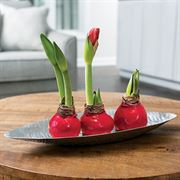 Ravishing Red Waxed Amaryllis Trio