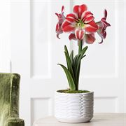 Candy Striped Jumbo Amaryllis